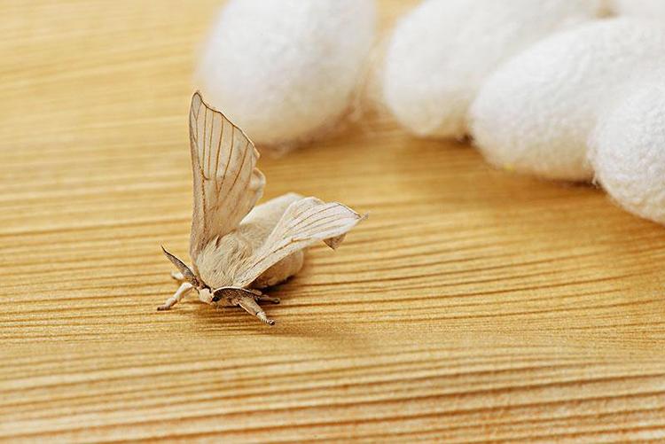 一个蚕茧有几根蚕丝